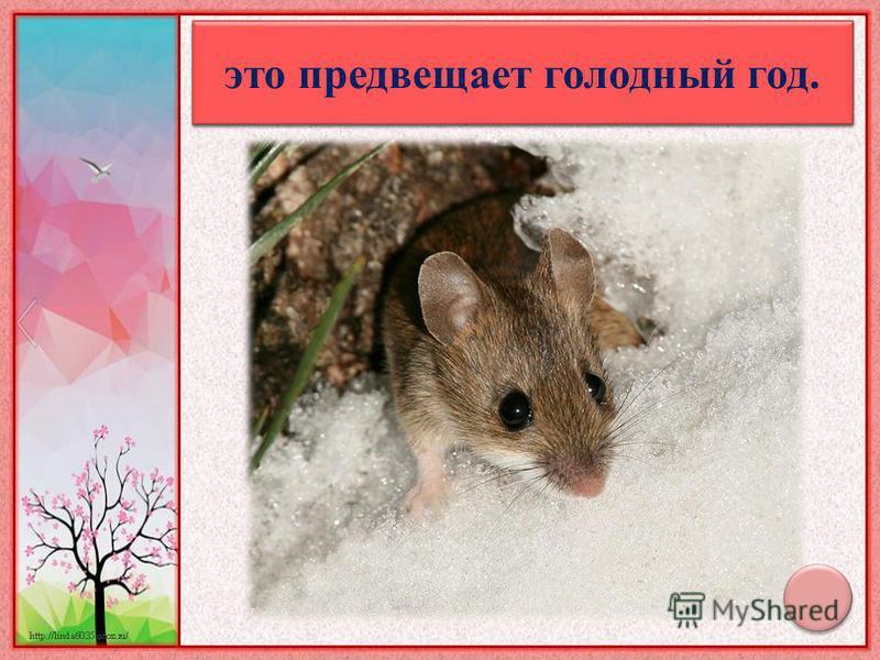 Когда весною появляется много мышей - это предвещает голодный год.