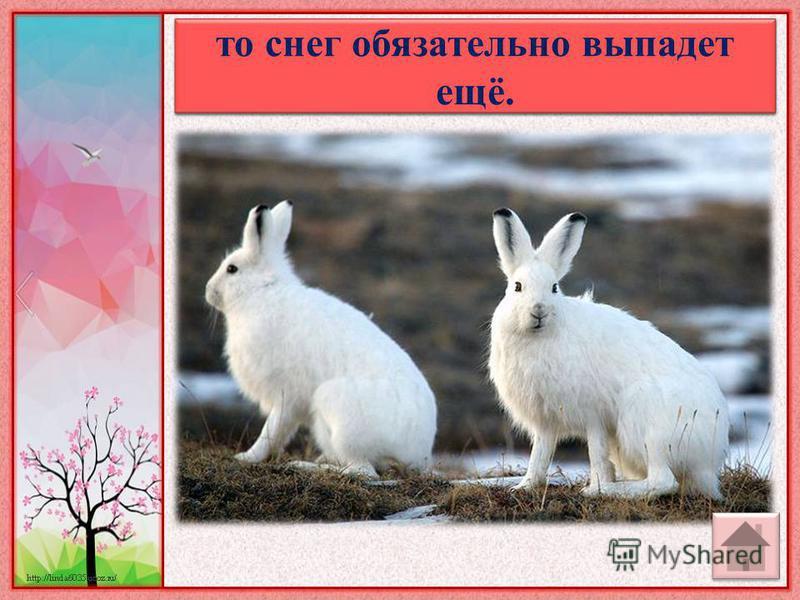 Если встретишь весной белого зайца, то снег обязательно выпадет ещё.