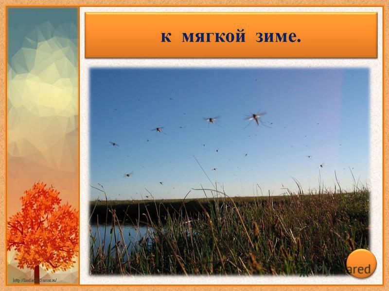 Появились комары поздней осенью – к мягкой зиме.