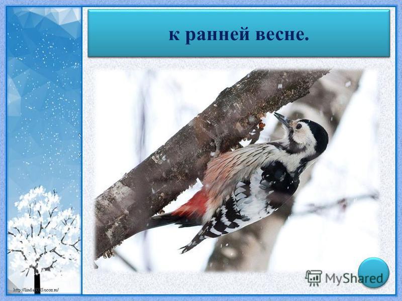 Рано в январе начинает стучать дятел – к ранней весне.