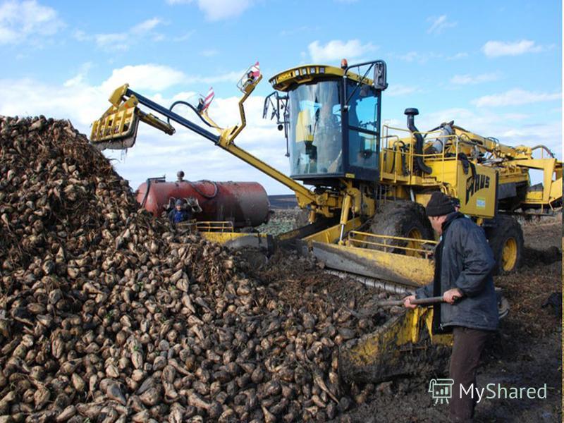 Осенью убирают картофель, капусту, морковь, свеклу.