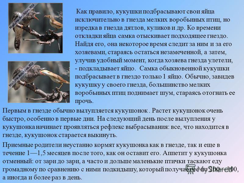 Как правило, кукушки подбрасывают свои яйца исключительно в гнезда мелких воробьиных птиц, но изредка в гнезда дятлов, куликов и др. Ко времени откладки яйца самка отыскивает подходящее гнездо. Найдя его, она некоторое время следит за ним и за его хо