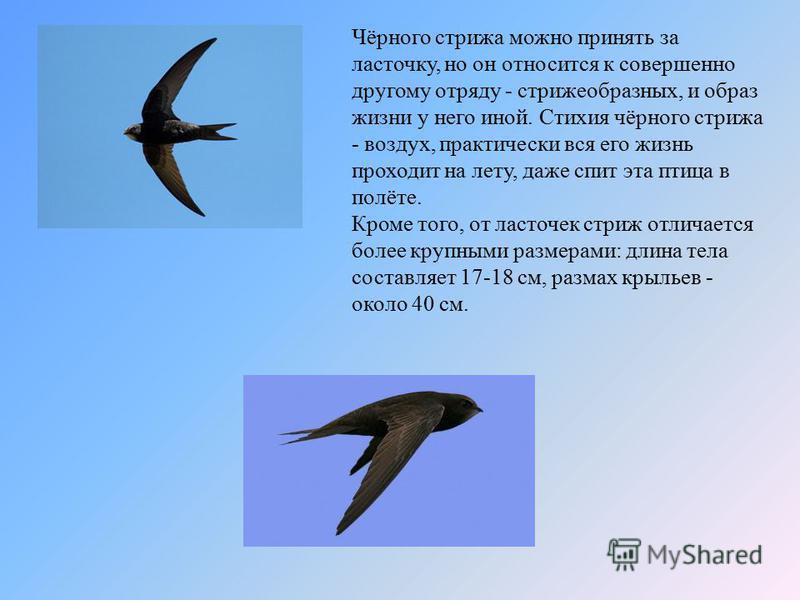 Чёрного стрижа можно принять за ласточку, но он относится к совершенно другому отряду - стрижеобразных, и образ жизни у него иной. Стихия чёрного стрижа - воздух, практически вся его жизнь проходит на лету, даже спит эта птица в полёте. Кроме того, о