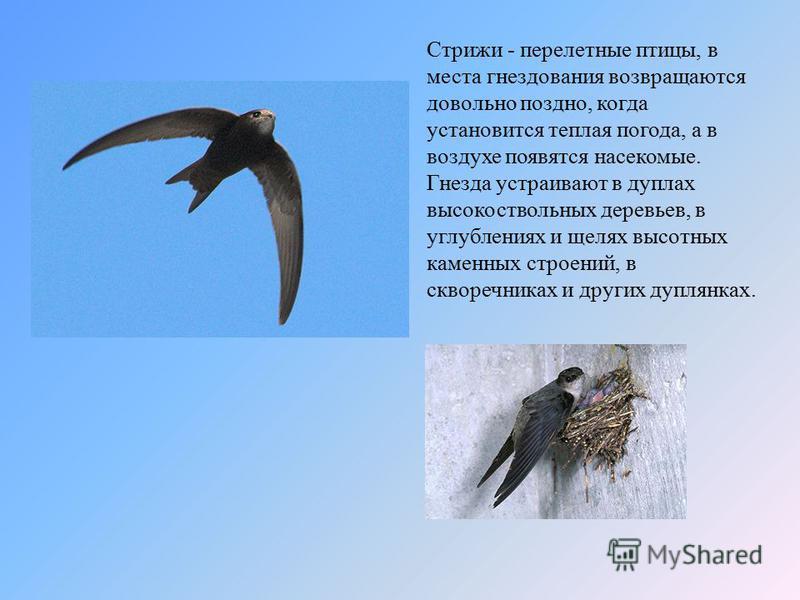Стрижи - перелетные птицы, в места гнездования возвращаются довольно поздно, когда установится теплая погода, а в воздухе появятся насекомые. Гнезда устраивают в дуплах высокоствольных деревьев, в углублениях и щелях высотных каменных строений, в скв