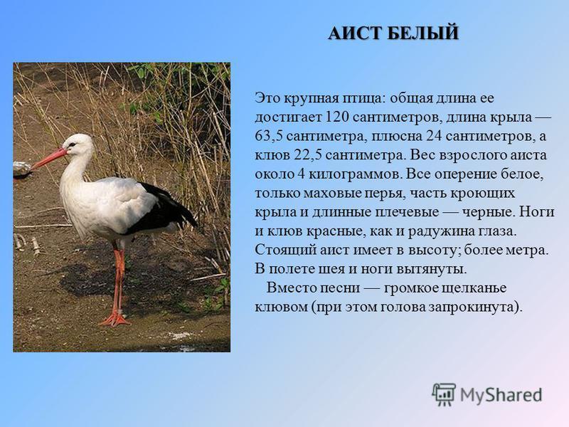 Это крупная птица: общая длина ее достигает 120 сантиметров, длина крыла 63,5 сантиметра, плюсна 24 сантиметров, а клюв 22,5 сантиметра. Вес взрослого аиста около 4 килограммов. Все оперение белое, только маховые перья, часть кроющих крыла и длинные