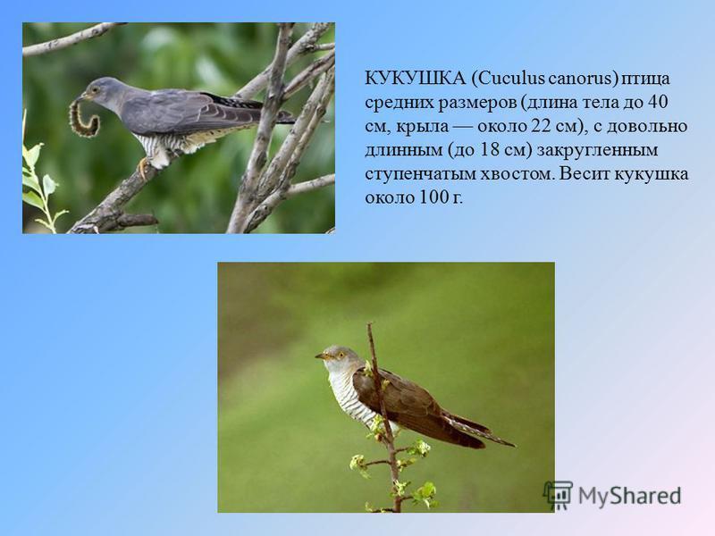 КУКУШКА (Cuculus canorus) птица средних размеров (длина тела до 40 см, крыла около 22 см), с довольно длинным (до 18 см) закругленным ступенчатым хвостом. Весит кукушка около 100 г.