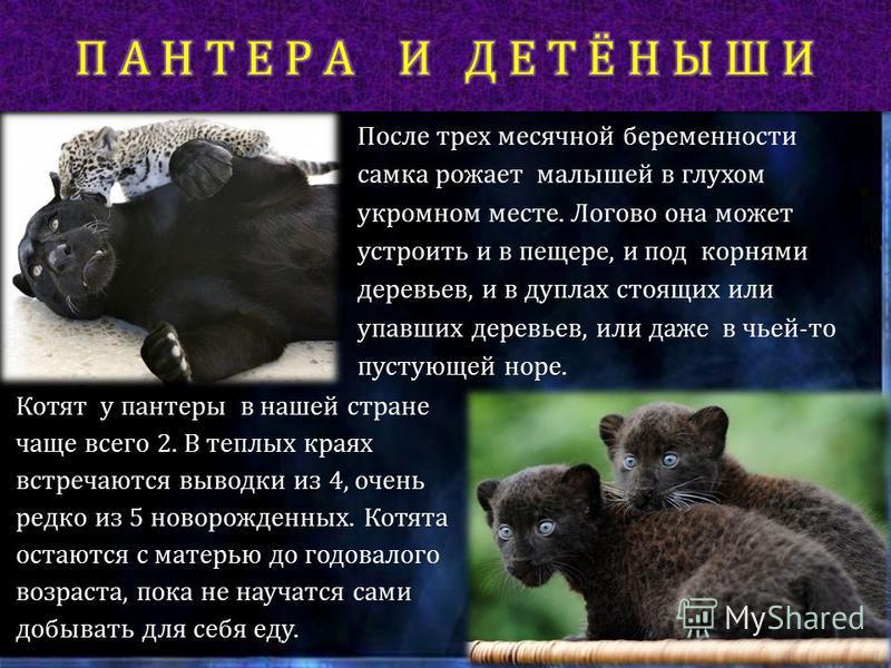 Пантеры – превосходные ночные хищники. В этом им помогают отлично развитые органы чувств. Кроме того, окраска у пантер самая подходящая – в темноте их невозможно видеть, а подкрадываются они совершенно бесшумно. Днём они спят на деревьях, растянувшис