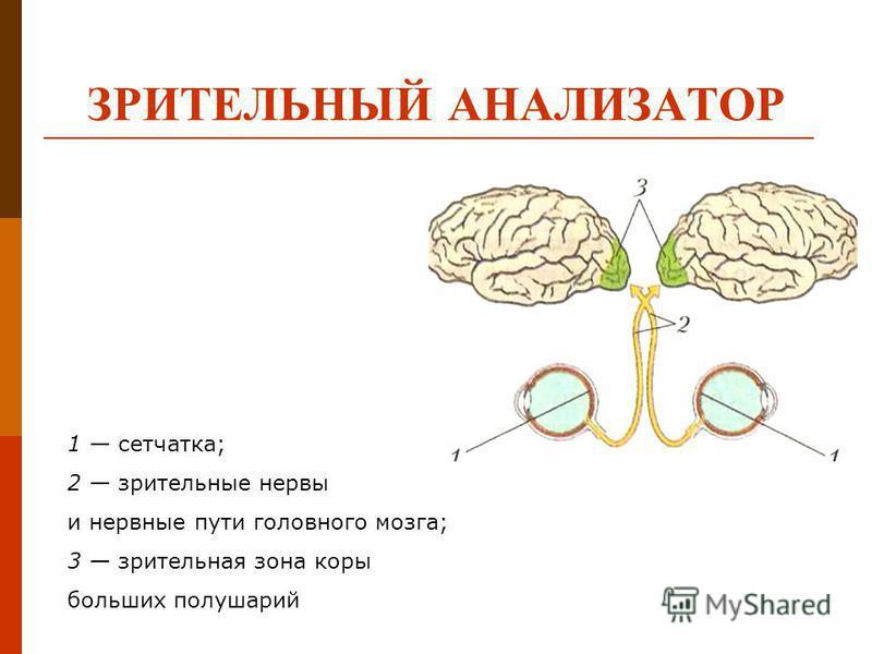 ЗРИТЕЛЬНЫЙ АНАЛИЗАТОР 1 сетчатка; 2 зрительные нервы и нервные пути головного мозга; 3 зрительная зона коры больших полушарий