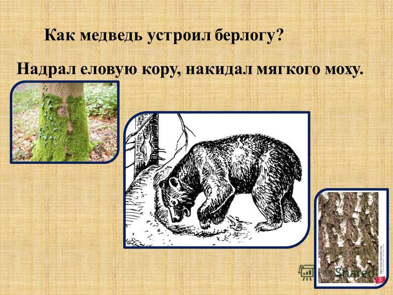Как медведь устроил берлогу? Надрал еловую кору, накидал мягкого моху.