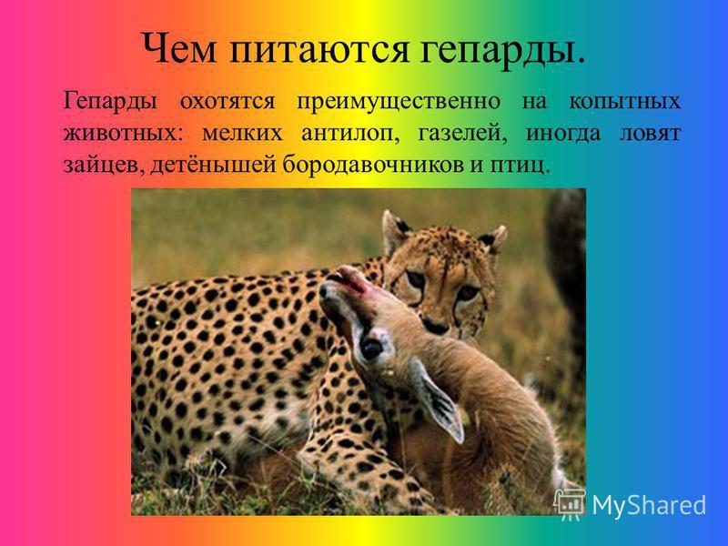 Чем питаются гепарды. Гепарды охотятся преимущественно на копытных животных: мелких антилоп, газелей, иногда ловят зайцев, детёнышей бородавочников и птиц.
