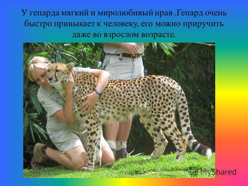У гепарда мягкий и миролюбивый нрав.Гепард очень быстро привыкает к человеку, его можно приручить даже во взрослом возрасте.