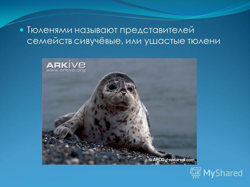 Тюленями называют представителей семейств сивучёвые, или ушастые тюлени