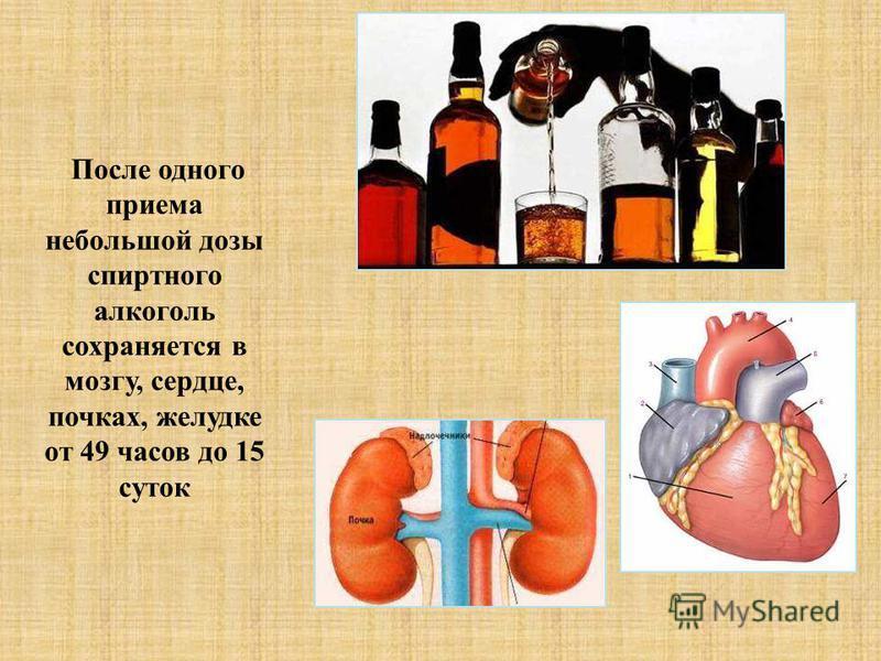 После одного приема небольшой дозы спиртного алкоголь сохраняется в мозгу, сердце, почках, желудке от 49 часов до 15 суток