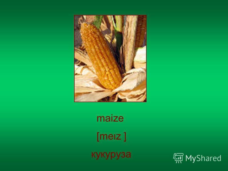 maize кукуруза [mez ]