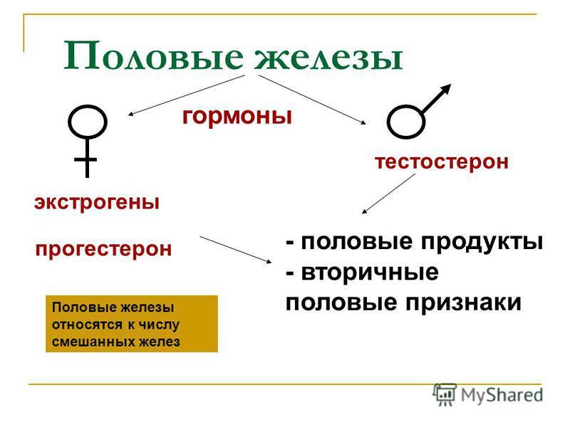 Половые железы гормоны экстрогены прогестерон тестостерон - половые продукты - вторичные половые признаки Половые железы относятся к числу смешанных желез