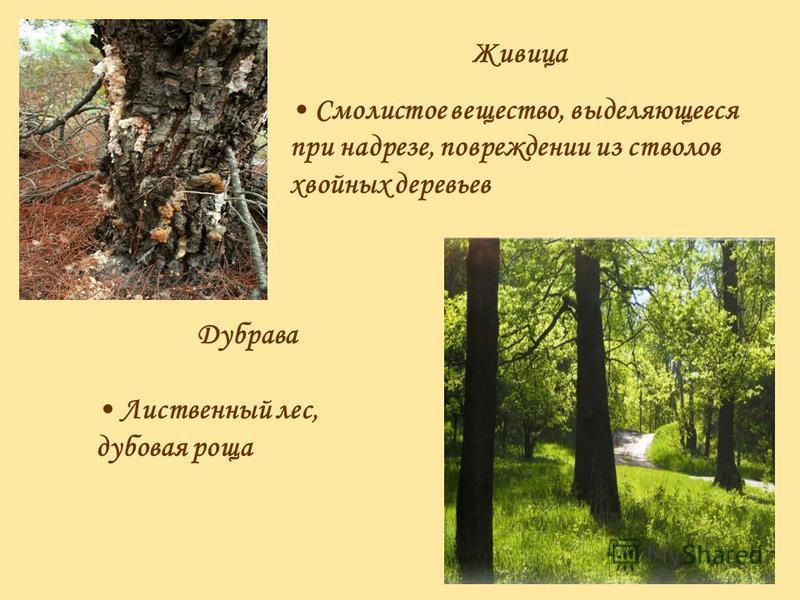 Живица Смолистое вещество, выделяющееся при надрезе, повреждении из стволов хвойных деревьев Дубрава Лиственный лес, дубовая роща