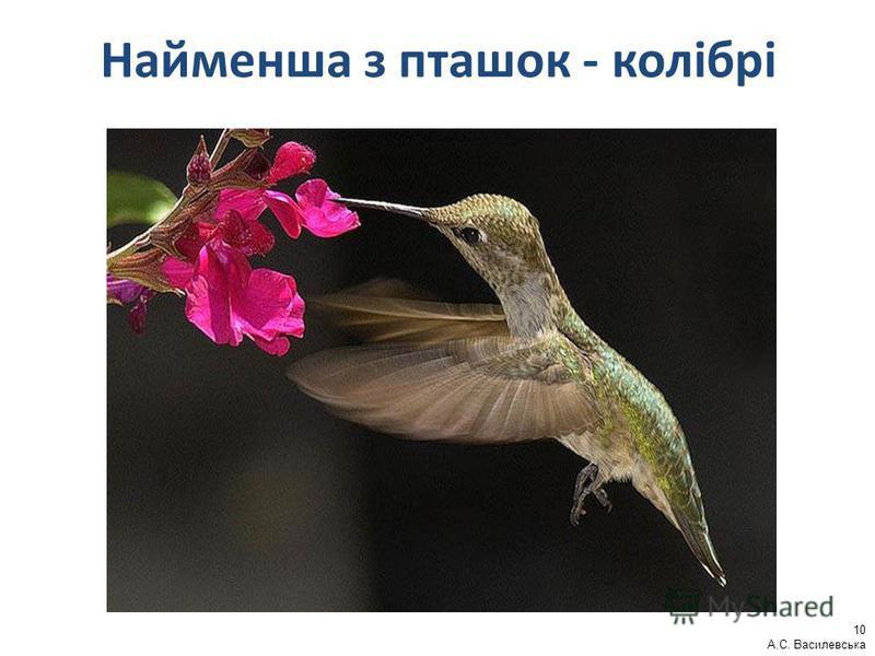Найменша з пташок - колібрі 10 А.С. Василевська