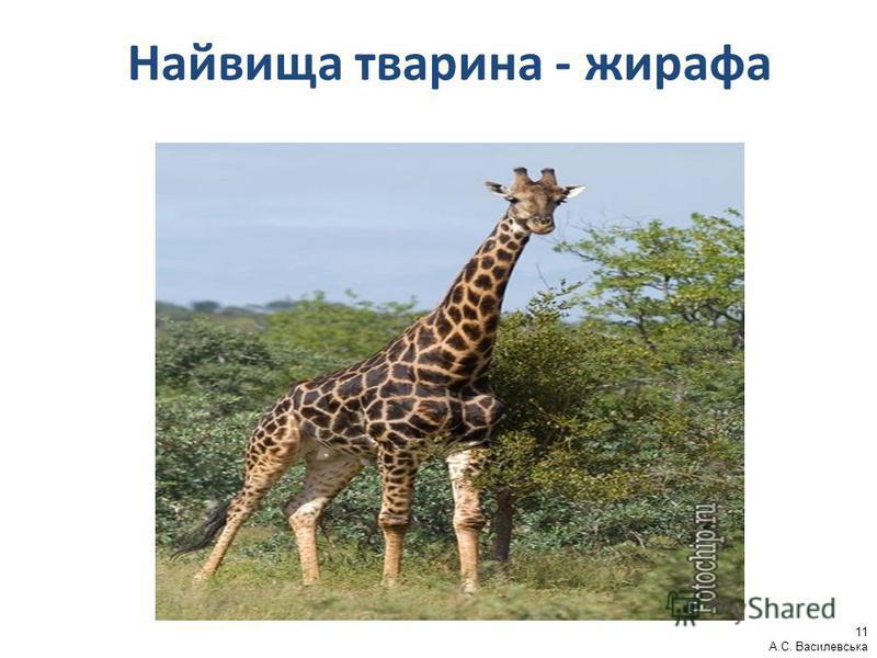 Найвища тварина - жирафа 11 А.С. Василевська