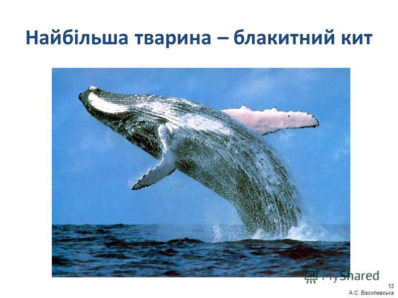 Найбільша тварина – блакитний кит 13 А.С. Василевська
