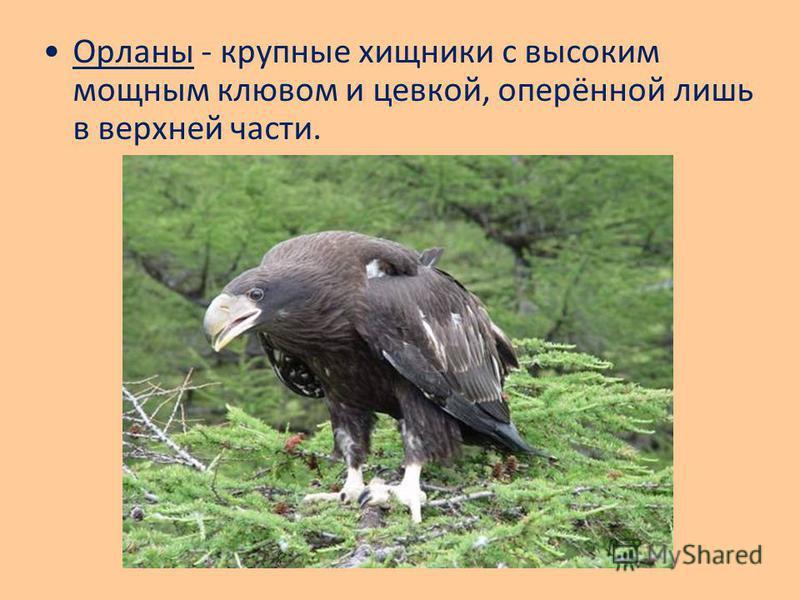 Орланы - крупные хищники с высоким мощным клювом и цевкой, оперённой лишь в верхней части.