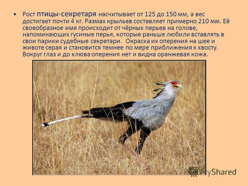 Рост птицы-секретаря насчитывает от 125 до 150 мм, а вес достигает почти 4 кг. Размах крыльев составляет примерно 210 мм. Её своеобразное имя происходит от чёрных перьев на голове, напоминающих гусиные перья, которые раньше любили вставлять в свои па