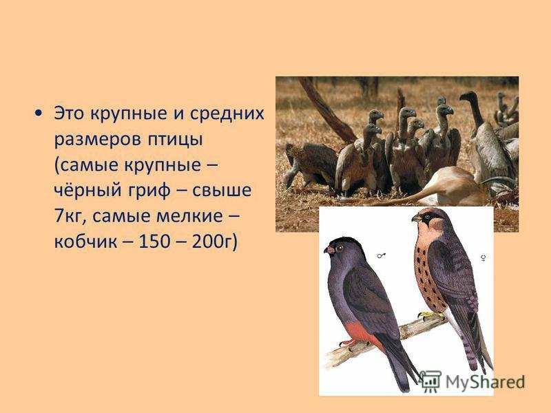 Это крупные и средних размеров птицы (самые крупные – чёрный гриф – свыше 7 кг, самые мелкие – кобчик – 150 – 200 г)
