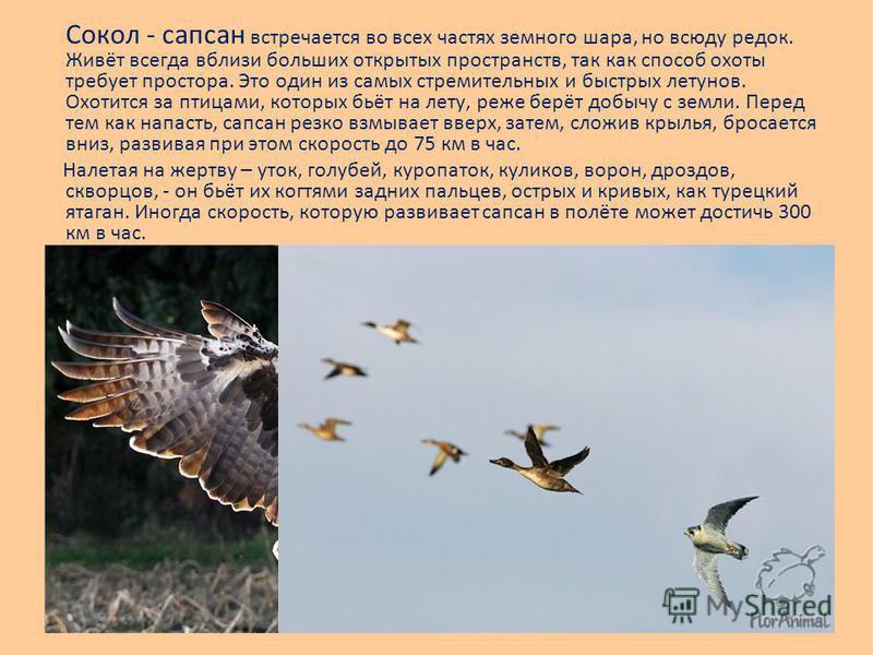 Сокол - сапсан встречается во всех частях земного шара, но всюду редок. Живёт всегда вблизи больших открытых пространств, так как способ охоты требует простора. Это один из самых стремительных и быстрых летунов. Охотится за птицами, которых бьёт на л