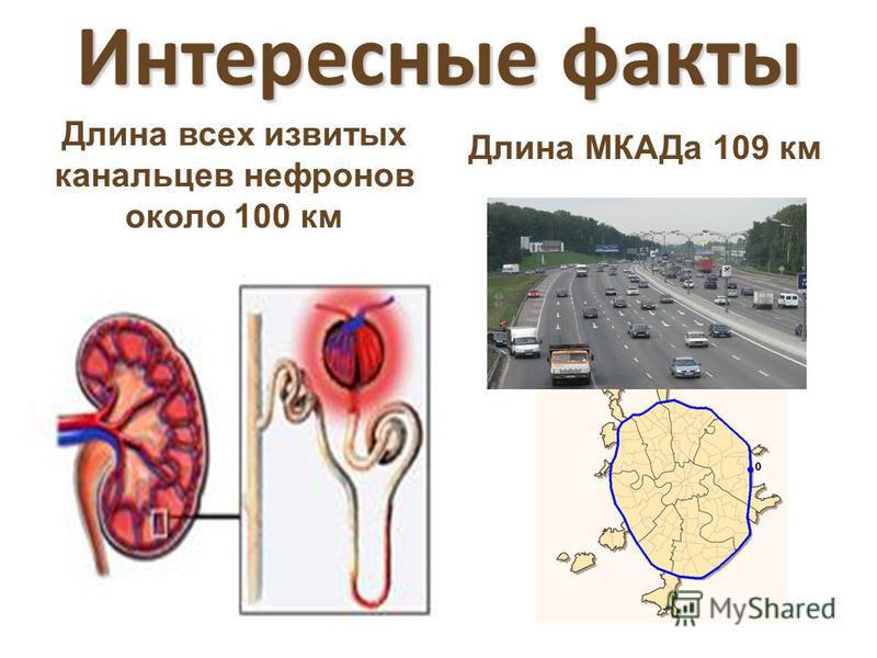 Интересные факты Длина всех извитых канальцев нефронов около 100 км Длина МКАДа 109 км