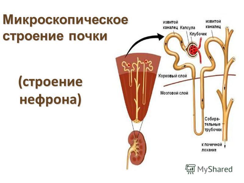 (строение нефрона) Микроскопическое строение почки