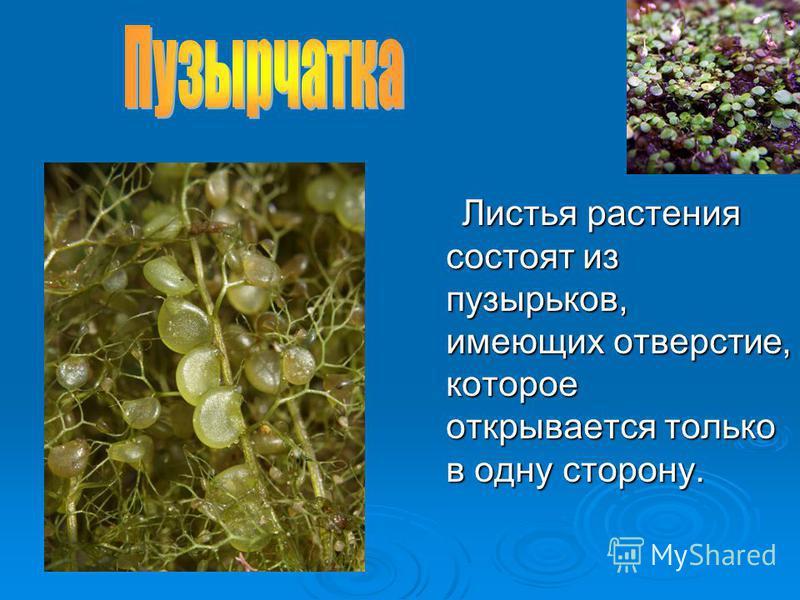 Листья растения состоят из пузырьков, имеющих отверстие, которое открывается только в одну сторону.