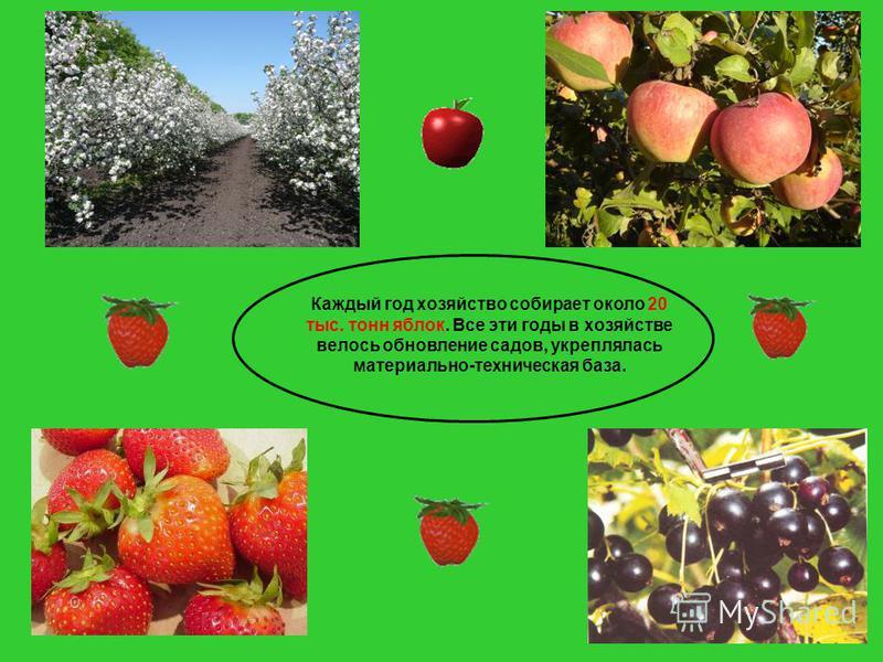 Каждый год хозяйство собирает около 20 тыс. тонн яблок. Все эти годы в хозяйстве велось обновление садов, укреплялась материально-техническая база.