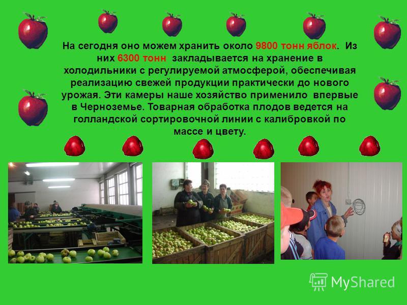 На сегодня оно можем хранить около 9800 тонн яблок. Из них 6300 тонн закладывается на хранение в холодильники с регулируемой атмосферой, обеспечивая реализацию свежей продукции практически до нового урожая. Эти камеры наше хозяйство применило впервые