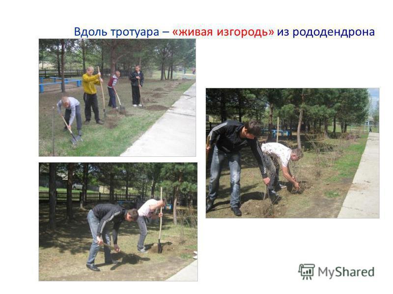 Вдоль тротуара – «живая изгородь» из рододендрона