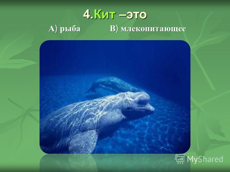 4. Кит –это В ) млекопитающее А ) рыба