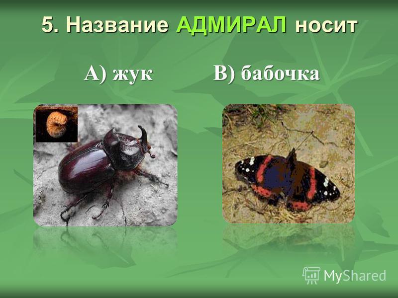 5. Название АДМИРАЛ носит В) бабочка А) жук