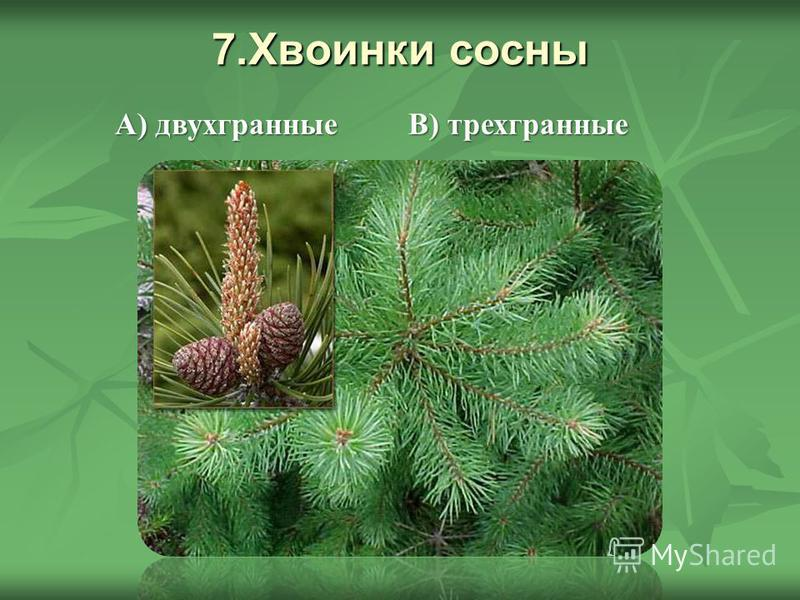 7. Хвоинки сосны В) трехгранные А) двухгранные