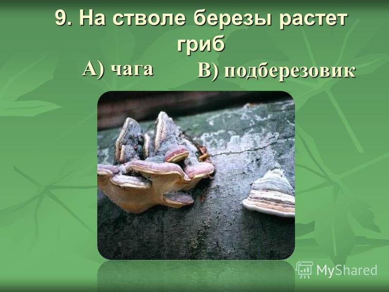 9. На стволе березы растет гриб В) подберезовик А) чага