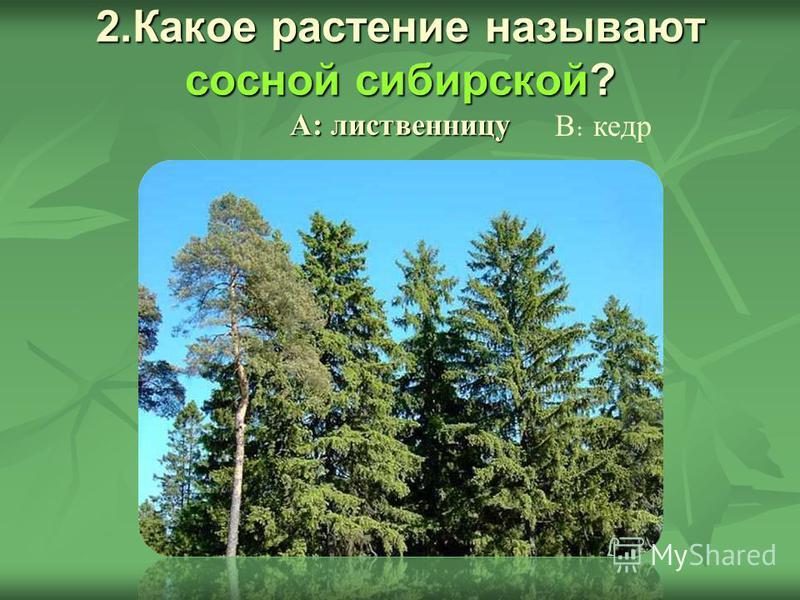 2. Какое растение называют сосной сибирской? А: лиственницу В : кедр