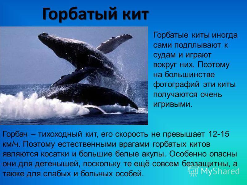 Горбатый кит Горбатые киты иногда сами подплывают к судам и играют вокруг них. Поэтому на большинстве фотографий эти киты получаются очень игривыми. Горбач – тихоходный кит, его скорость не превышает 12-15 км/ч. Поэтому естественными врагами горбатых