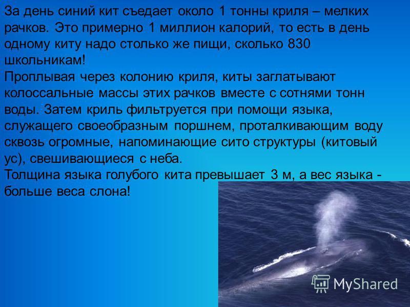 За день синий кит съедает около 1 тонны криля – мелких рачков. Это примерно 1 миллион калорий, то есть в день одному киту надо столько же пищи, сколько 830 школьникам! Проплывая через колонию криля, киты заглатывают колоссальные массы этих рачков вме