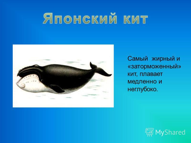 Самый жирный и «заторможенный» кит, плавает медленно и неглубоко.