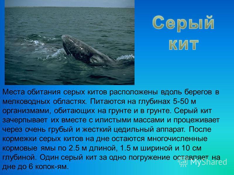 Места обитания серых китов расположены вдоль берегов в мелководных областях. Питаются на глубинах 5-50 м организмами, обитающих на грунте и в грунте. Серый кит зачерпывает их вместе с илистыми массами и процеживает через очень грубый и жесткий цедиль