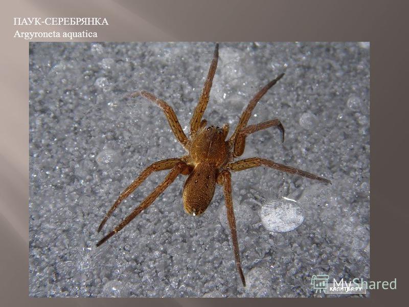 ПАУК-СЕРЕБРЯНКА Argyroneta aquatica