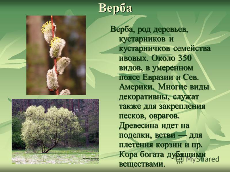Верба Верба, род деревьев, кустарников и кустарничков семейства ивовых. Около 350 видов, в умеренном поясе Евразии и Сев. Америки. Многие виды декоративны, служат также для закрепления песков, оврагов. Древесина идет на поделки, ветви для плетения ко