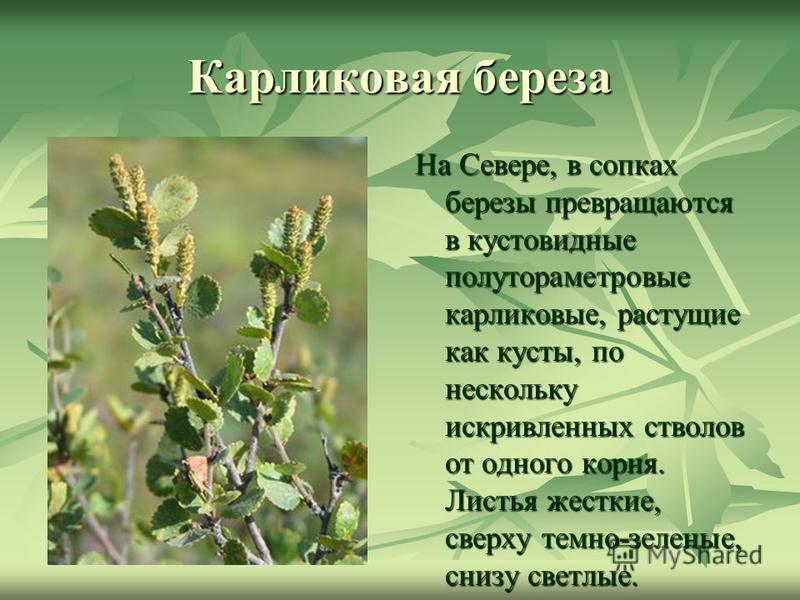 Карликовая береза На Севере, в сопках березы превращаются в кустовидные полутораметровые карликовые, растущие как кусты, по нескольку искривленных стволов от одного корня. Листья жесткие, сверху темно-зеленые, снизу светлые.