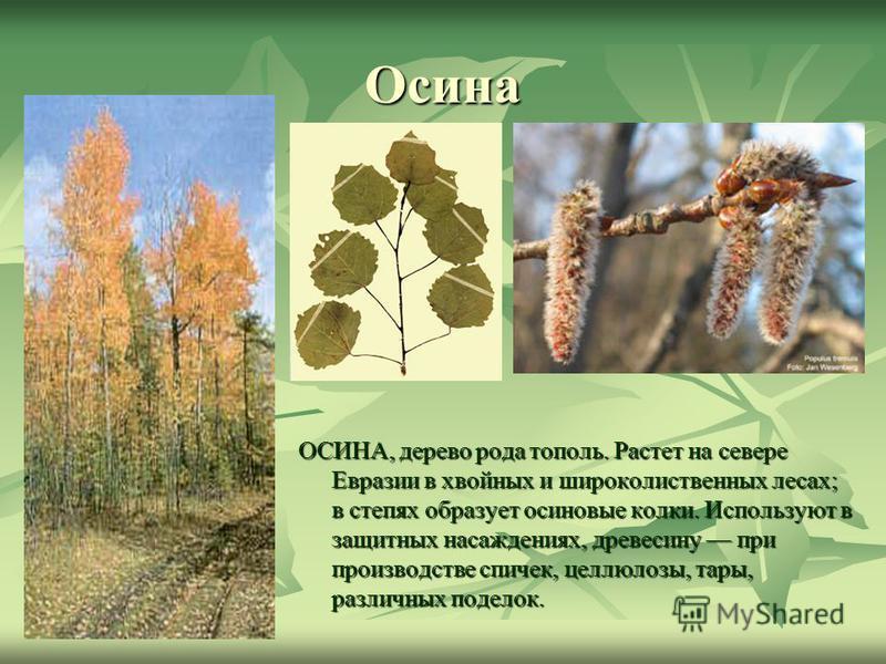 Осина ОСИНА, дерево рода тополь. Растет на севере Евразии в хвойных и широколиственных лесах; в степях образует осиновые колки. Используют в защитных насаждениях, древесину при производстве спичек, целлюлозы, тары, различных поделок.