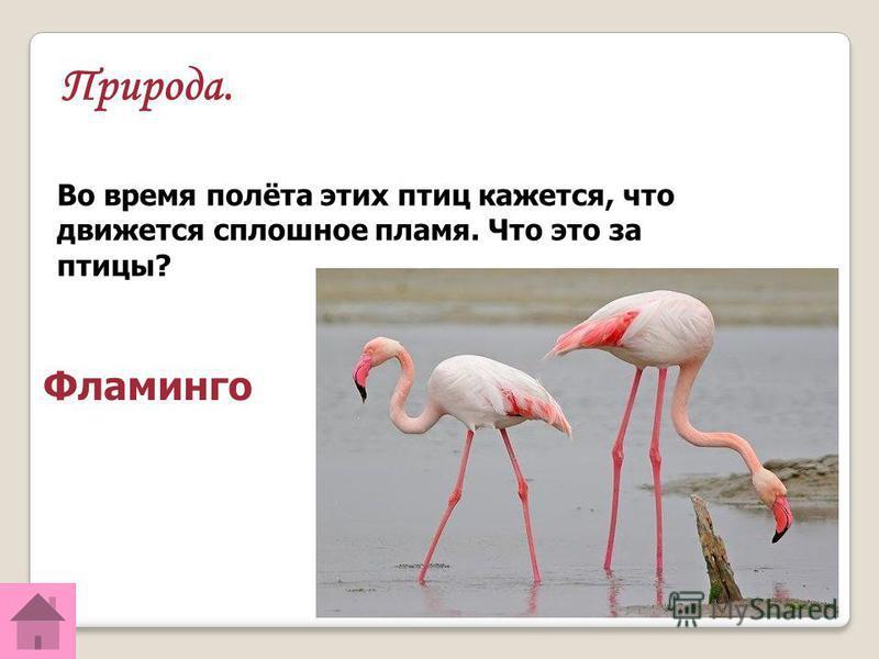 Природа. Во время полёта этих птиц кажется, что движется сплошное пламя. Что это за птицы? Фламинго