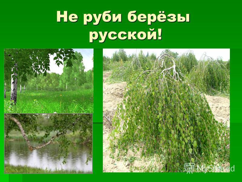Не руби берёзы русской!