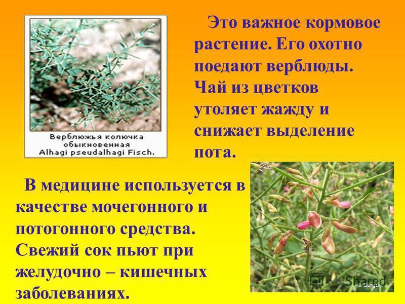 Это важное кормовое растение. Его охотно поедают верблюды. Чай из цветков утоляет жажду и снижает выделение пота. В медицине используется в качестве мочегонного и потогонного средства. Свежий сок пьют при желудочно – кишечных заболеваниях.