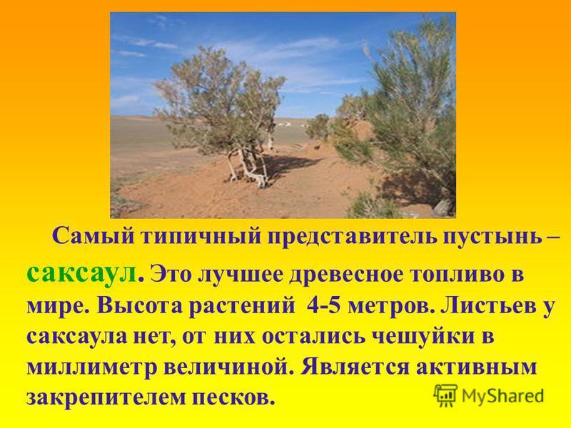 Самый типичный представитель пустынь – саксаул. Это лучшее древесное топливо в мире. Высота растений 4-5 метров. Листьев у саксаула нет, от них остались чешуйки в миллиметр величиной. Является активным закрепителем песков.